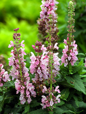 Sage (Salvia x superba 'Merleau Rose')