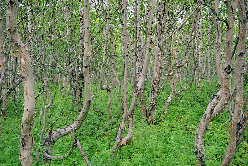 Thicket of young Birch