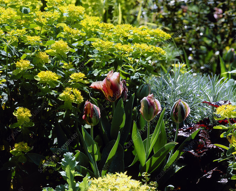 Tulipa and Euphorbia
