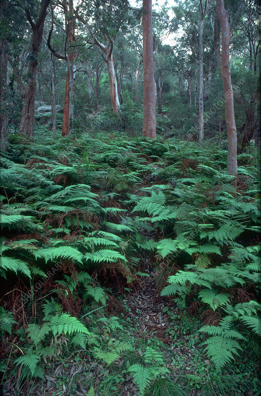 Temperate rainforest ferns