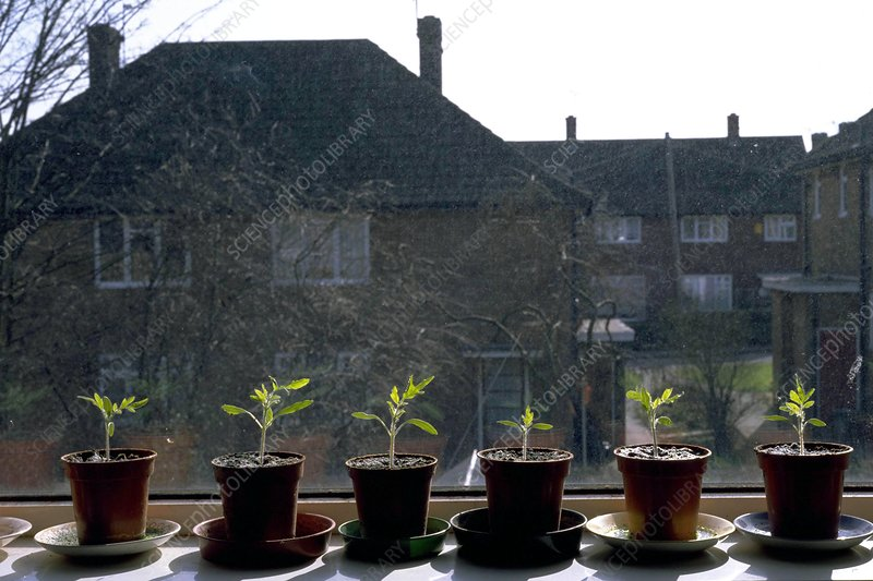 Tomato seedlings on a windowsill