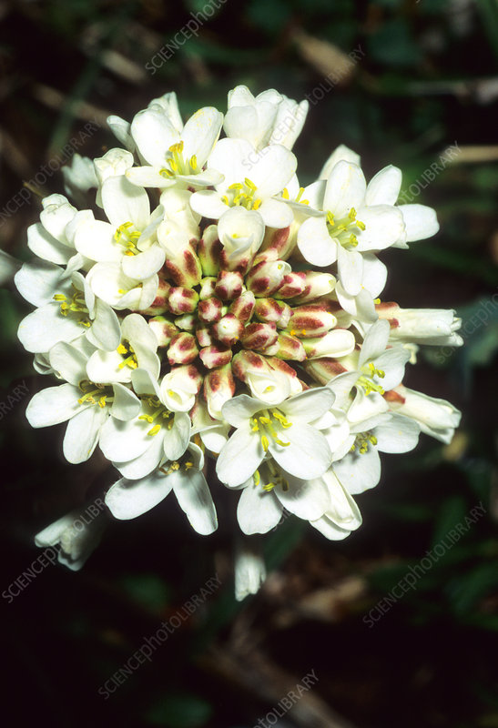 Pennycress (Thlaspi praecox)