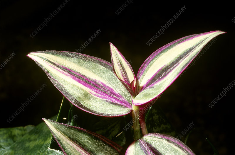 Happy Wandering Jew Plant