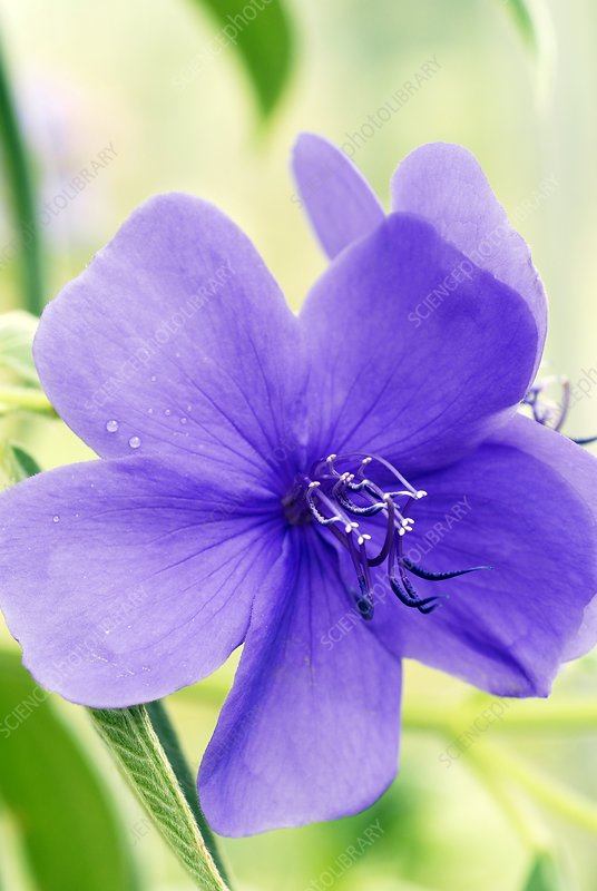 Glory bush (Tibouchina organensis)