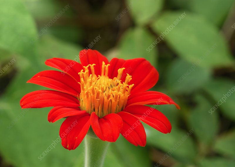 Mexican sunflower (Tithonia rotundifolia)