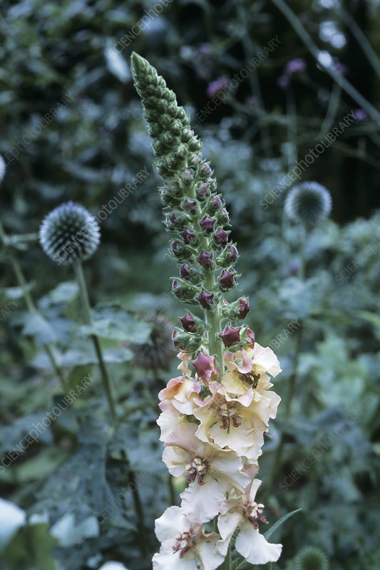 Verbascum 'Copper Rose'