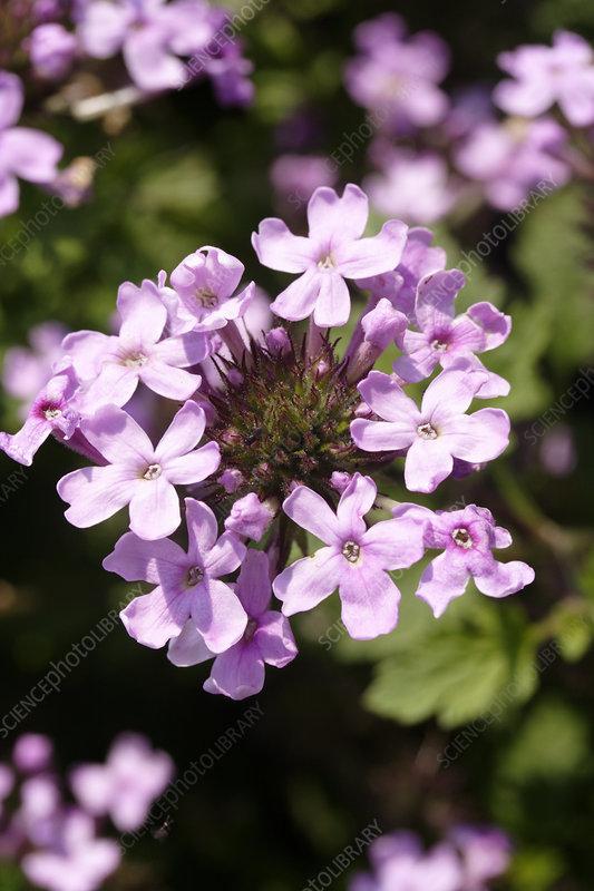 Sams Credit Login >> Verbena 'Toronto Silver Pink' - Stock Image B842/0823 ...