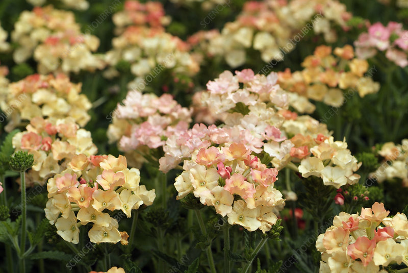 Verbena 'Peaches and Cream'