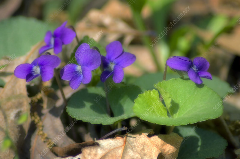 Common blue violets (Viola sororia)