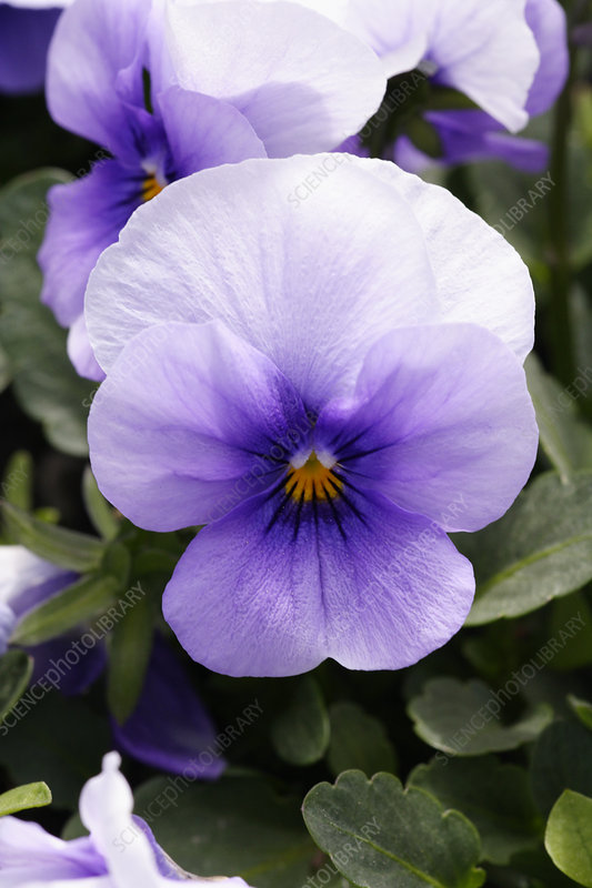 Pansy (Viola tricolor 'Ice Blue')
