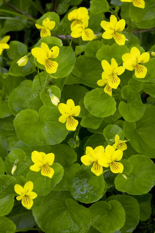 Yellow wood violet (Viola biflora)