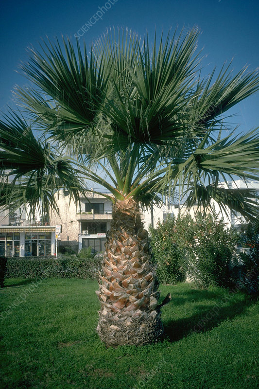 Washingtonia filifera.