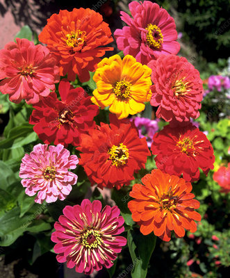 Zinnia EARLY WONDER MIXED.