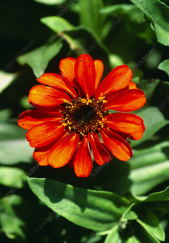 Zinnia Profusion Orange.