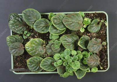 Saintpaulia cuttings