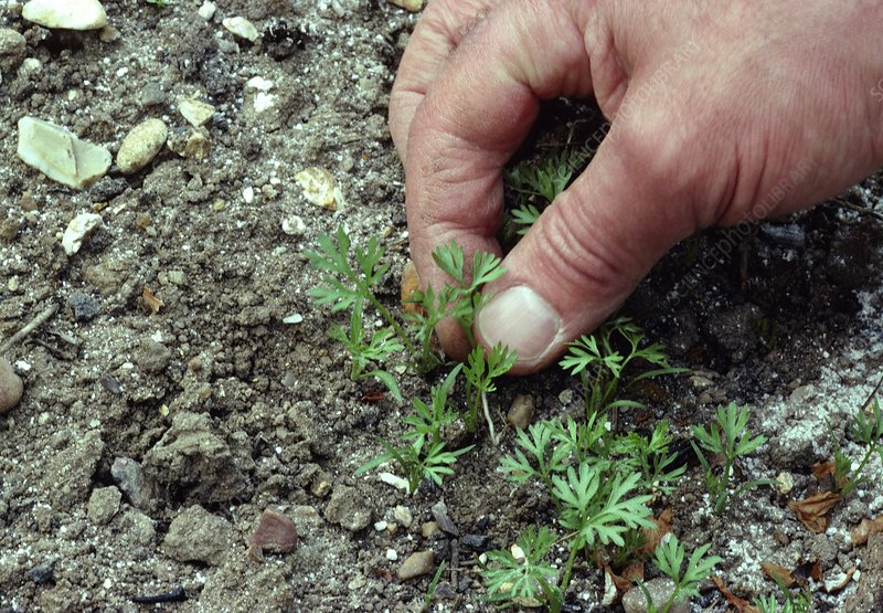 Thinning seedlings by hand