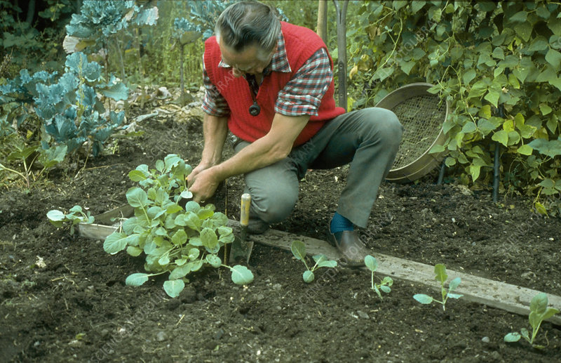 Planting young cabbages