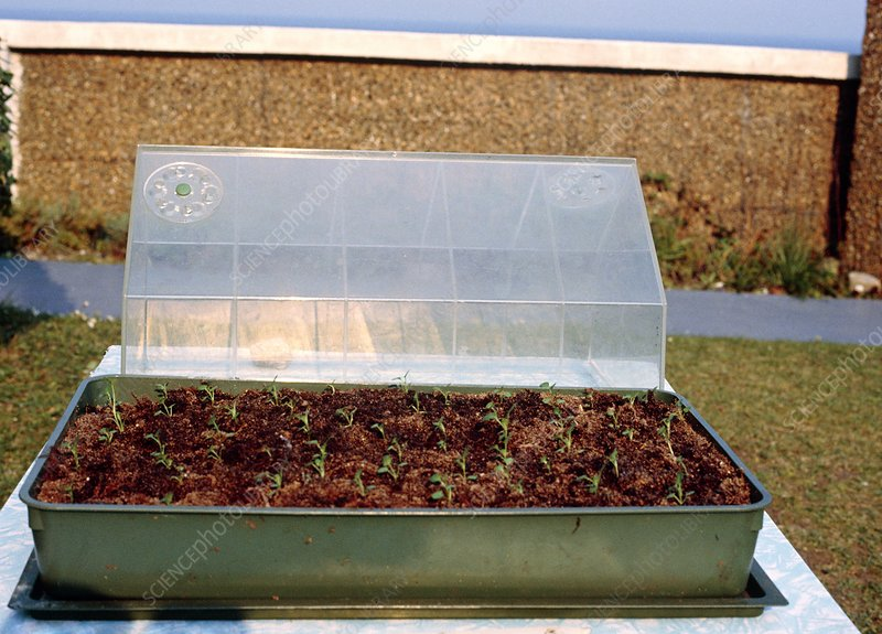 Seedlings in propagation tray