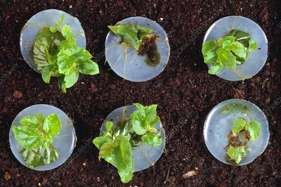 Propagation of Begonias