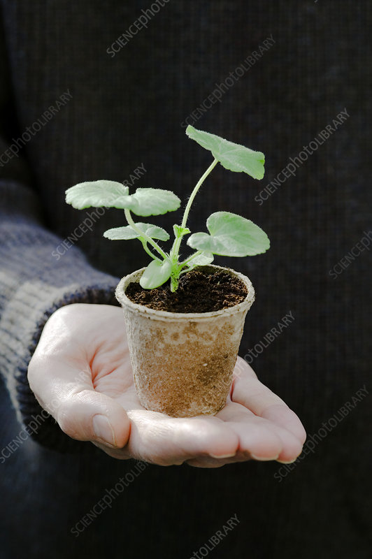 Geranium seedling in a pot