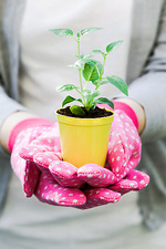 Fuchsia seedling in a pot