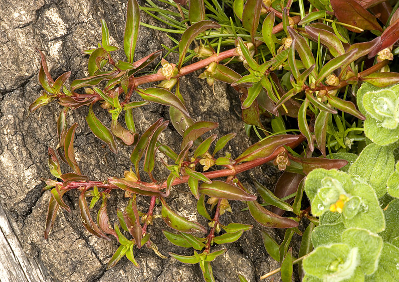 Hampshire purslane (Ludwigia palustris)