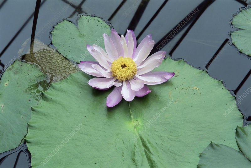 Giant water lily (Nymphaea gigantea)