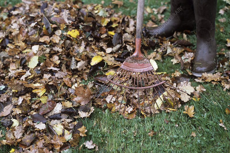 Gardener raking leaves