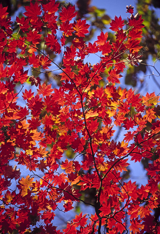 Korean maple (Acer pseudosieboldianum)