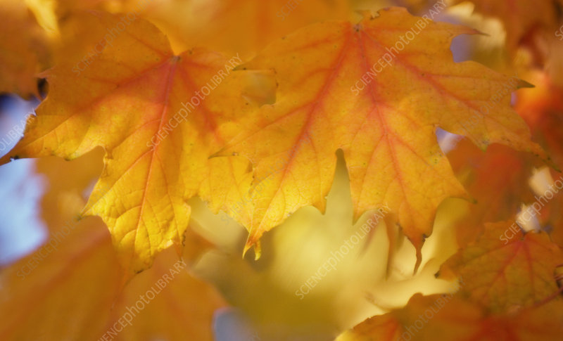 Maple leaves (Acer saccharum)