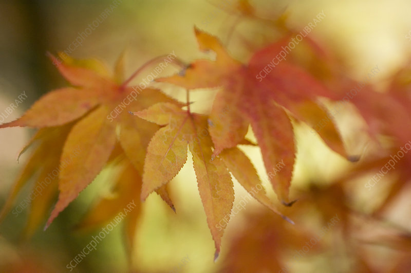 Japanese maple leaves (Acer palmatum)