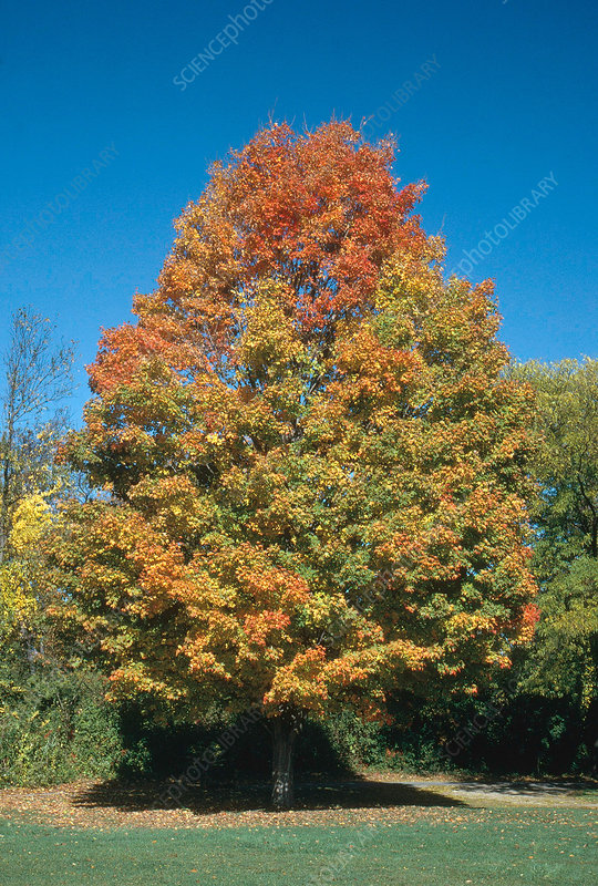 Sugar Maple in Fall
