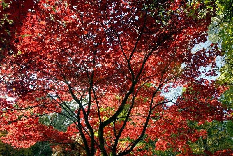 Japanese maple trees in autumn