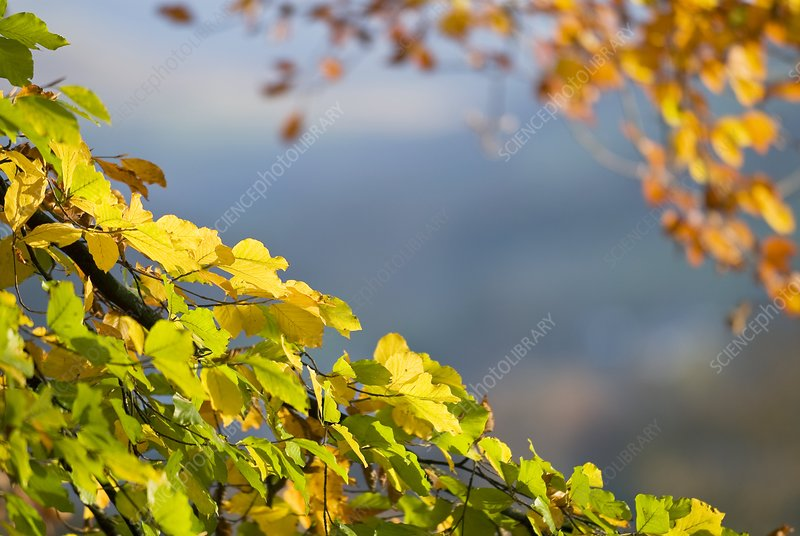 Beech tree foliage