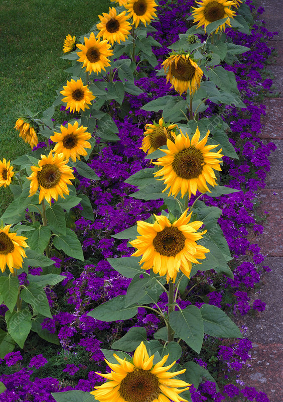 Sunflowers and Verbena