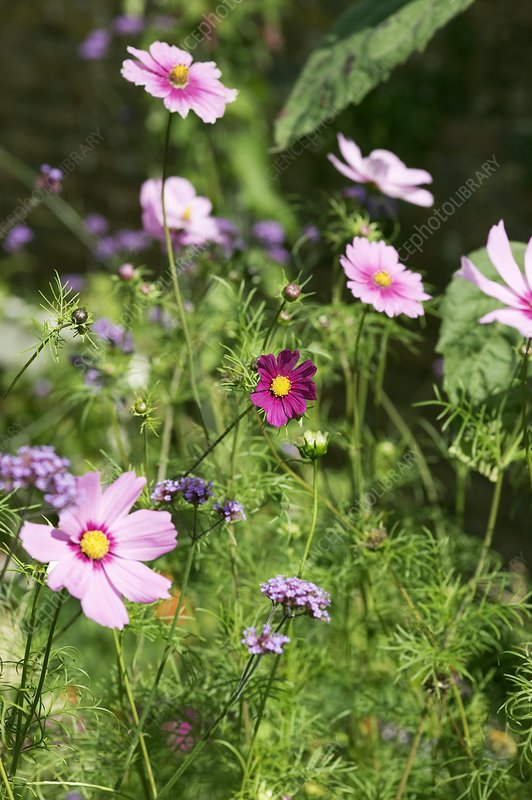 Cosmos and verbena flowers