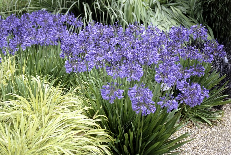 African lilies (Agapanthus 'Blue Bird')
