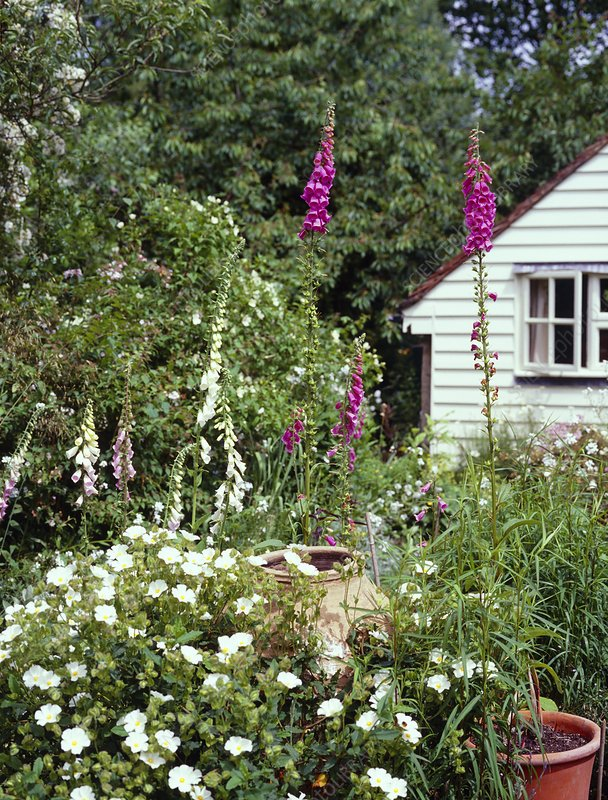 Cottage garden Stock Image B8780159 Science Photo Library