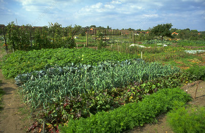 Allotment site with vegetables.