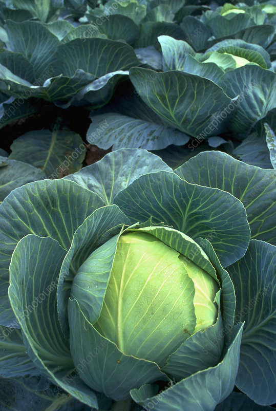 Winter Cabbages in field 28.