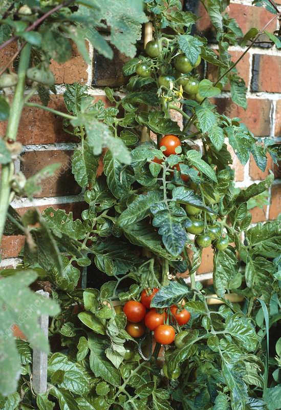 Tomato plant growing up a wall