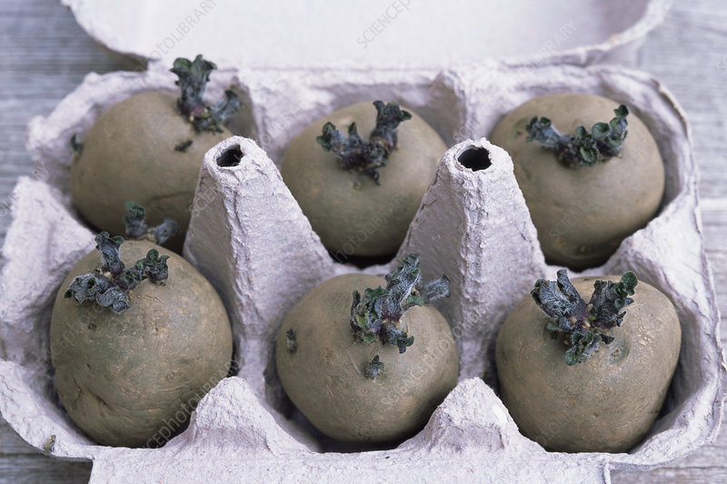 Chitted potatoes in an egg box