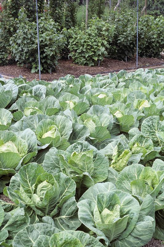 Cabbages in vegetable garden
