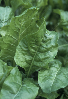 Perpetual spinach (Beta vulgaris)
