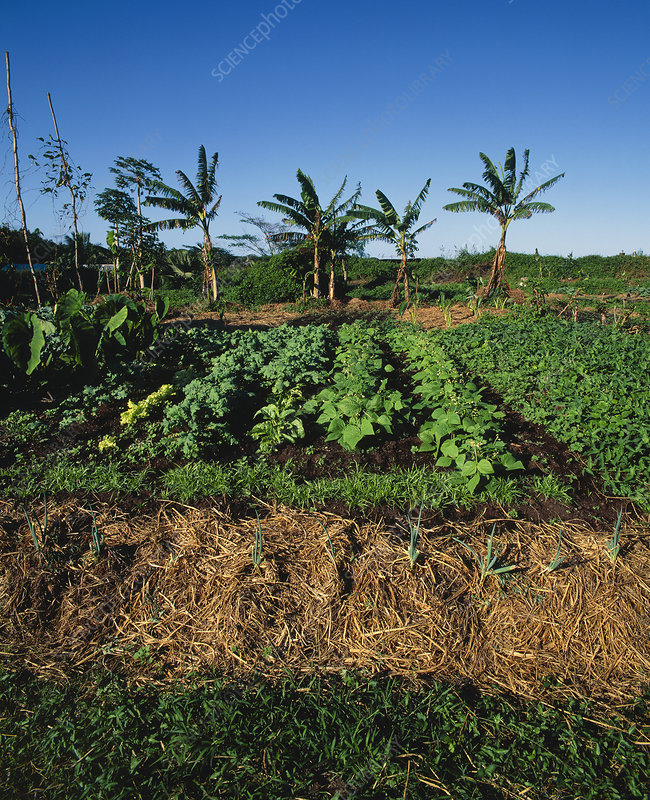 Organic vegetable garden, Hawaii