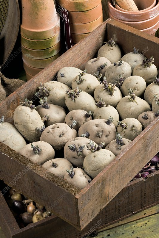 Seed potatoes chitting