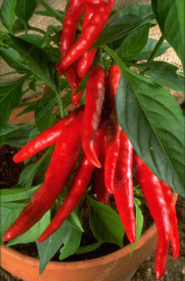 Chilli pepper Apache 28A.