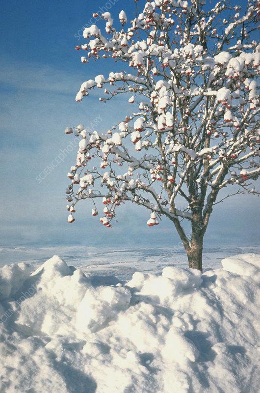 Rowan tree in snow 33.
