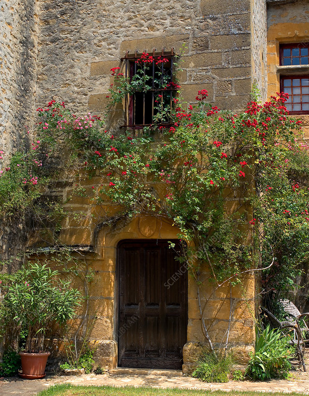 'Rose climbing medieval chateau, France'