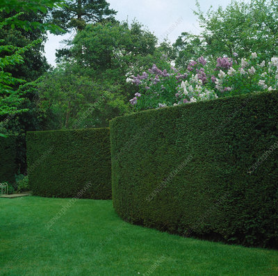 Clipped hedges